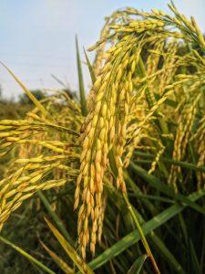 rice-plant