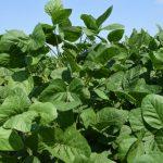 成長する大豆