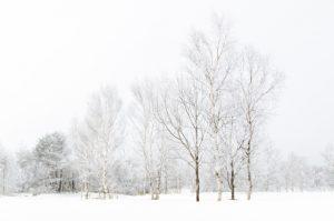 高原の白樺