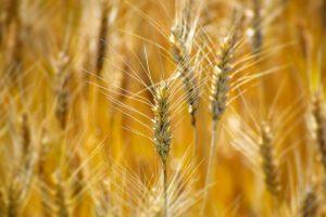小麦畑の小麦
