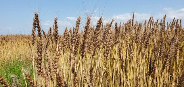 広大な小麦畑