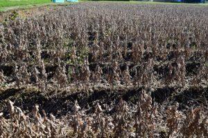収穫前の大豆畑